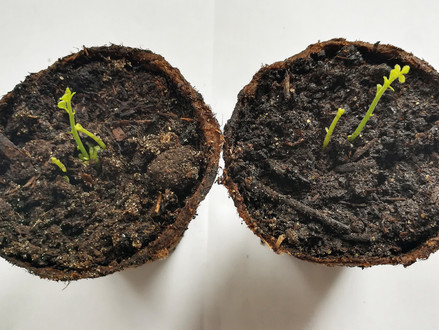 2 bis 4 Keimlinge pro Samen