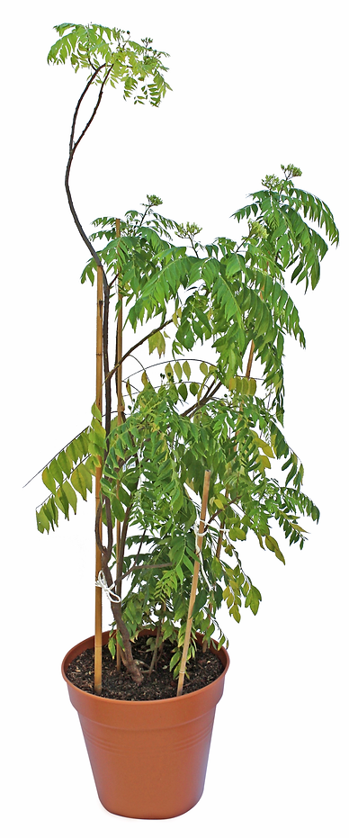 Currybaum_Jack_02.png