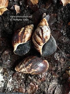 archachatina marginata marginata cameroon