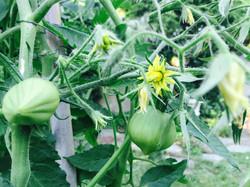 Première Récolte Tomates