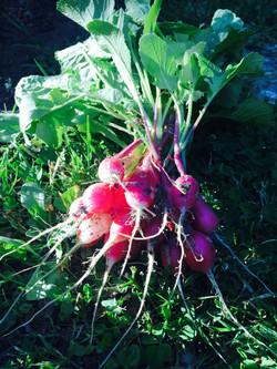 Première Récolte