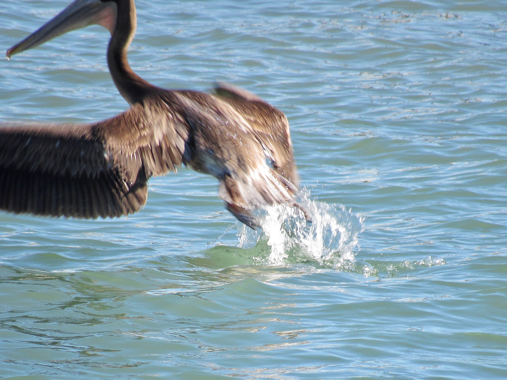 Pelican starting to fly from ocean