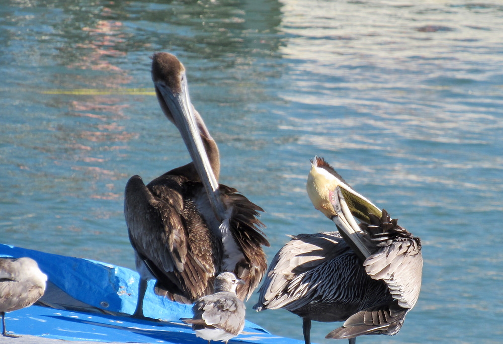 Pelican family by the water in Punta Mita, Mexico