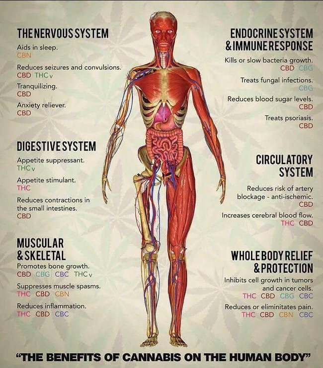 CBD and Human Body.JPG