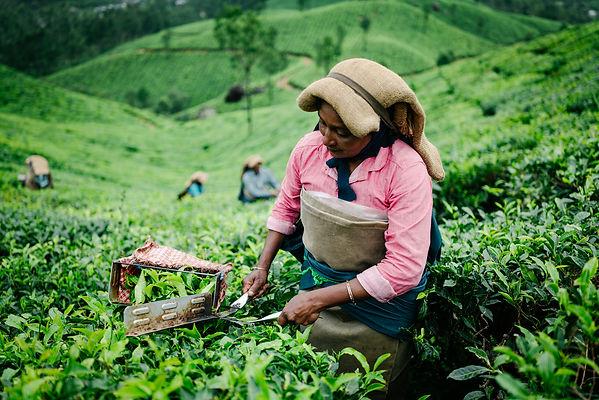 tea picker.jpg