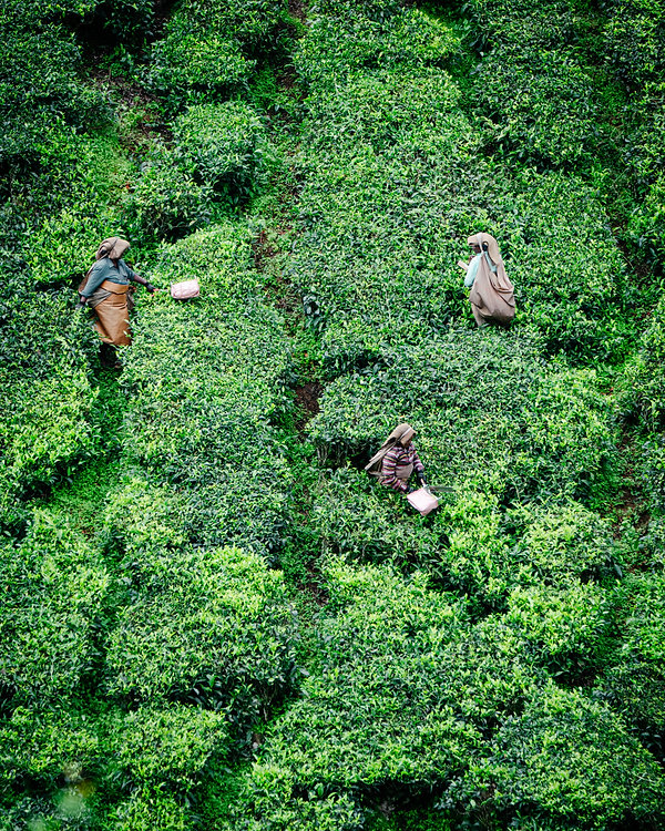 tea field.jpg