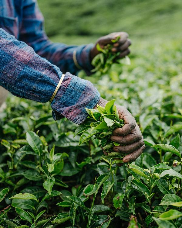 tea picking.jpg