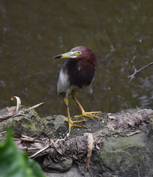 Ardeola bacchus (Chinese pond heron) is commonly found foraging on mudflats