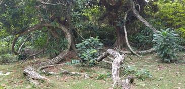 Large Derris vines