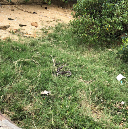 Just a king cobra sunning on the grass