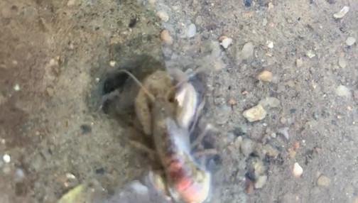A hardworking Laomedia (shrimp)