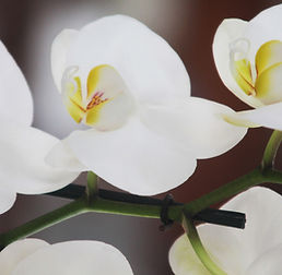 White Orchid Close Up