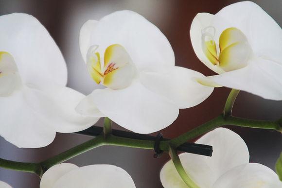 Orquídeas | Catálogo de Plantas do Site Dimensão da Natureza