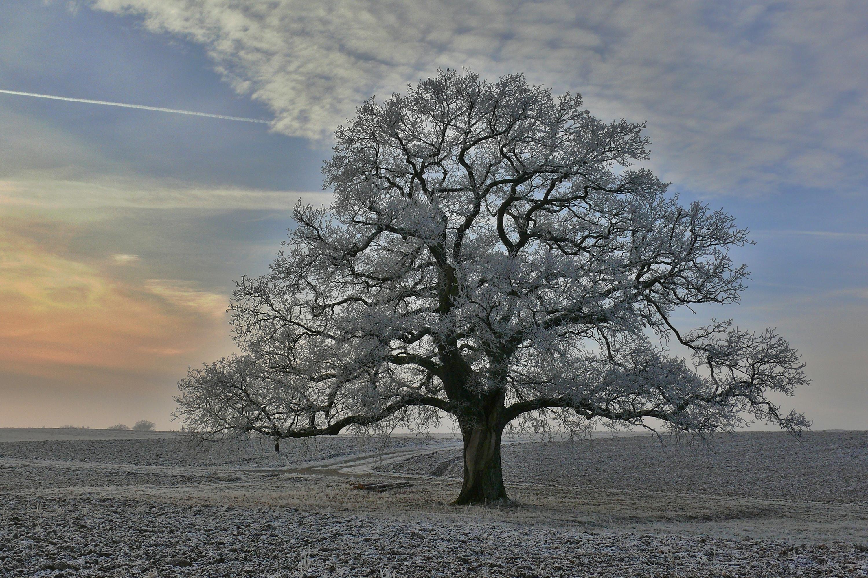 Die Eiche im Winterkleid