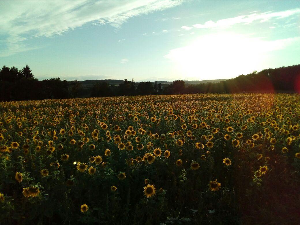 Sonne sonnt Sonnenblumen