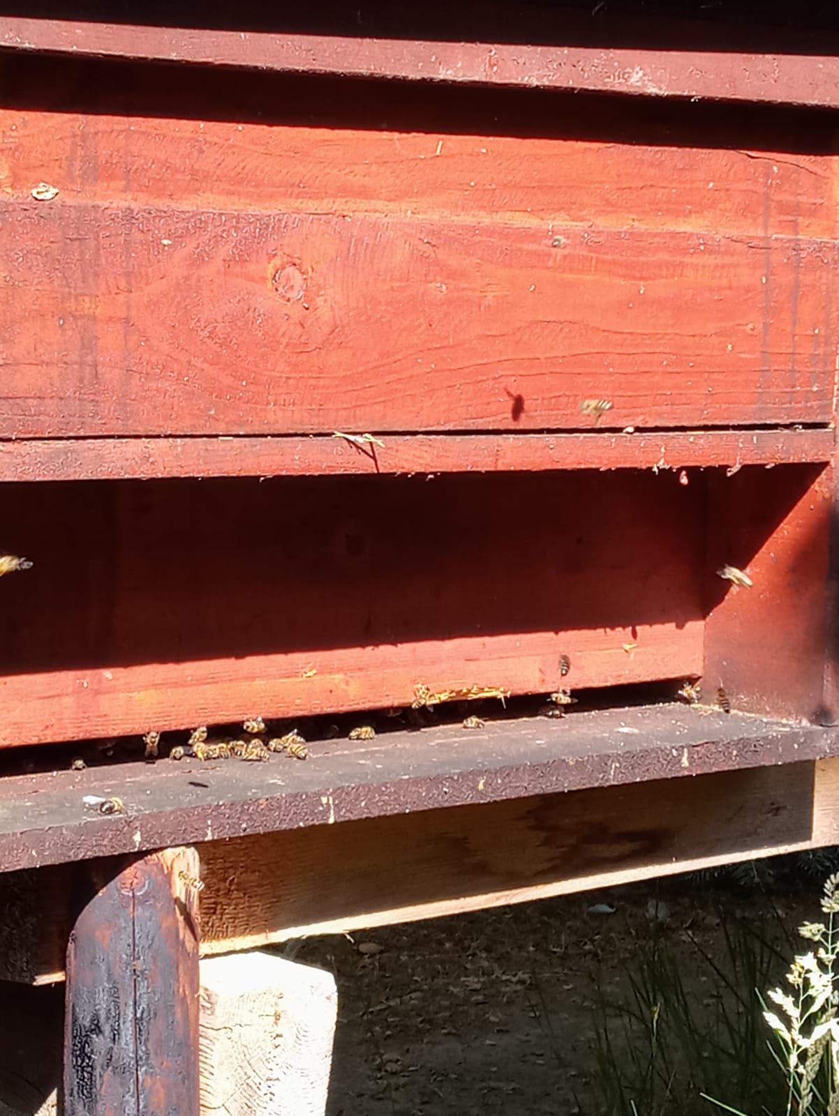 Bienen vor dem Flugloch