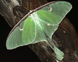 Luna Moth.png