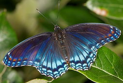 Banded Purple Admiral.png