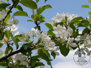 Apples Abloom - Pine Hill Orchards