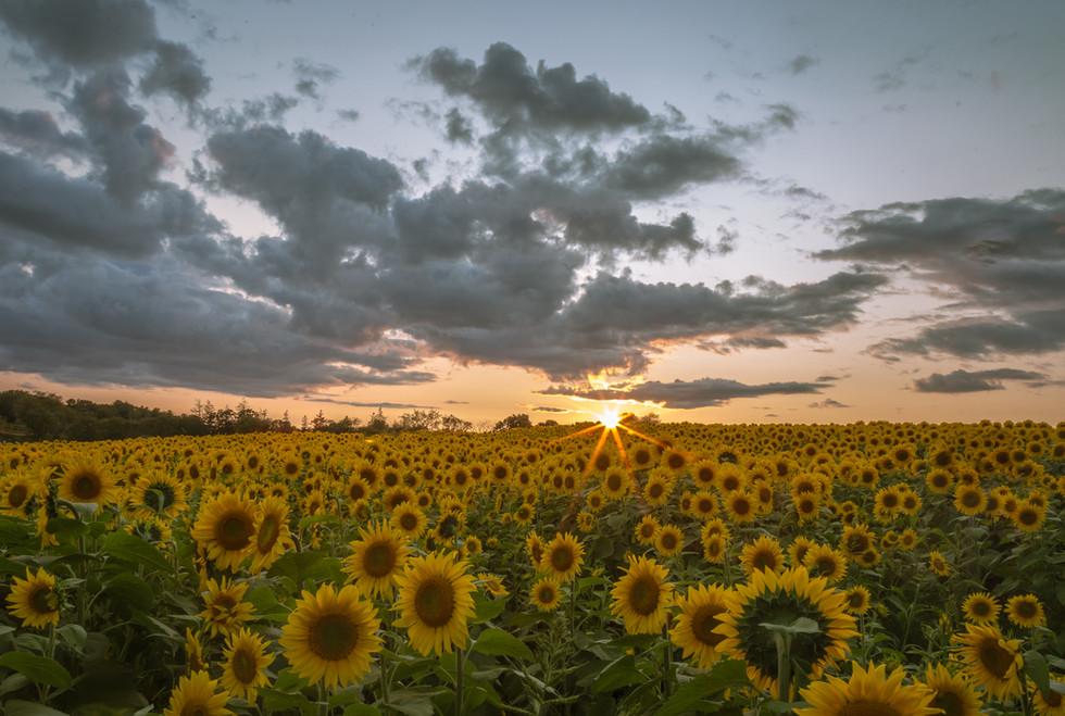 Colby Farm Sunflowers Field.jpg