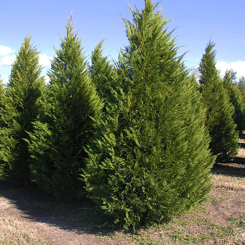 Trees Option 1