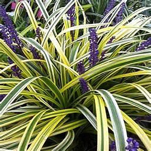 Plant Option 1