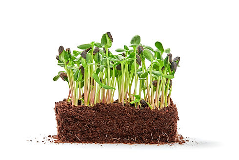 Microgreens sprouts isolated on white ba