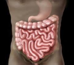 intestin grêle.jpg