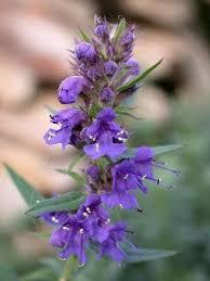 Hysope fleurs séchées - sachet 25g