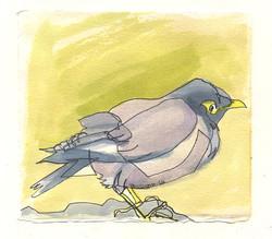 martha ebner mynah bird drawing