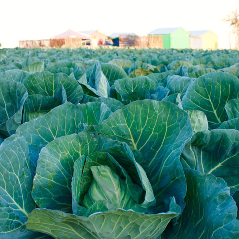 Field of Cabbage, Manyeledi Village