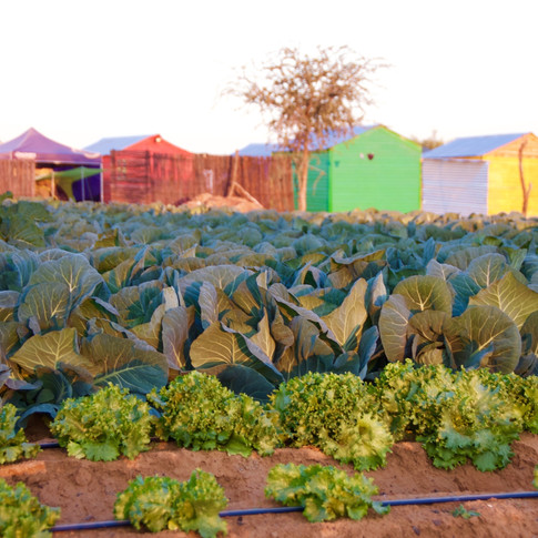 Cabbage at the Hub