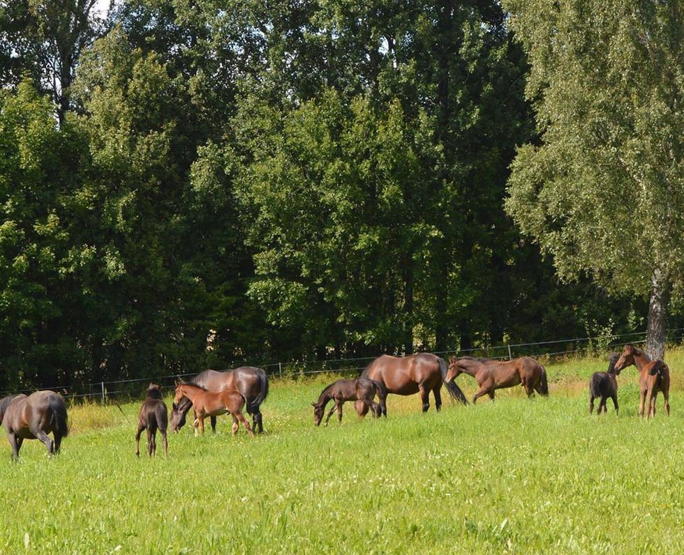 Hester_på_beite.jpg