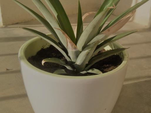 Zelf een ananasplant kweken