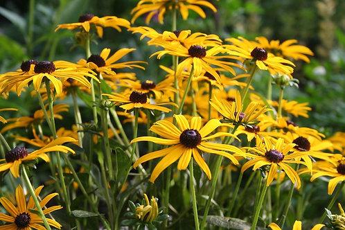 Perennial Black Eyed Susan  (Rudbeckia) Flower- 300 Seeds- Free Shipping!