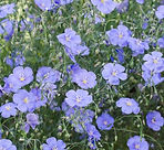 blue flax.jpg