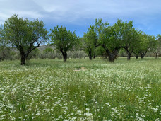 Almondtrees.jpg