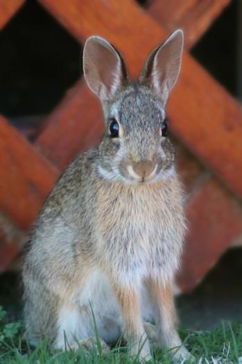Solo Bunny
