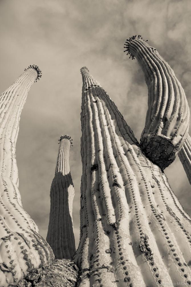 Saguaro Love