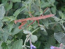 Praying Mantis in Pollinator Garden.jpg