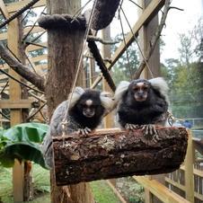 marmoset swing