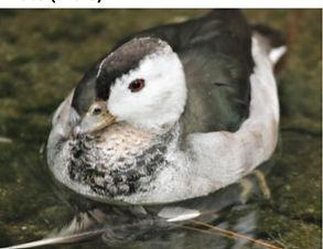Indian Pygmy Goose
