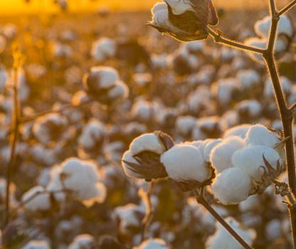 A fibra mais usada - O algodão