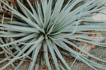 Aloe Vera, Santa Cruz CA