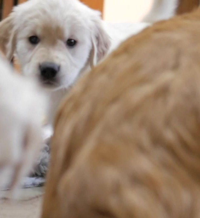 Goldendoodle Puppies | Colorado Goldendoodlebugs | United States