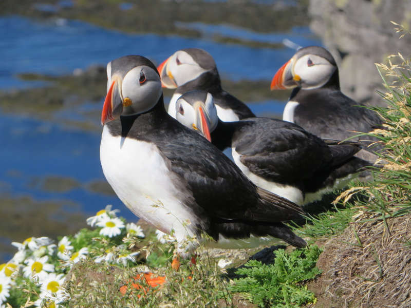 beautiful puffins on a cliff - Iceland nature protection measures