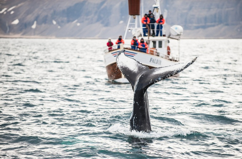 Whale tail and a group of tourist in a whale watching in Iceland tour