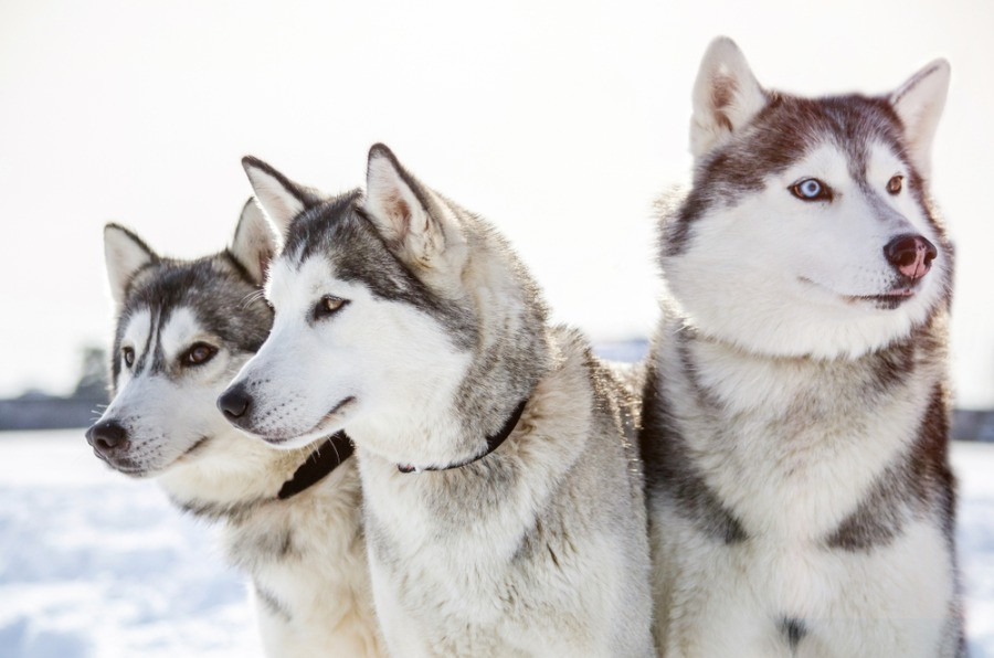 A trio of cute husky dogs used for sledding in Iceland