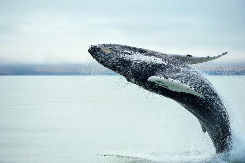 Whale watching in Iceland in the summer is a fun activity
