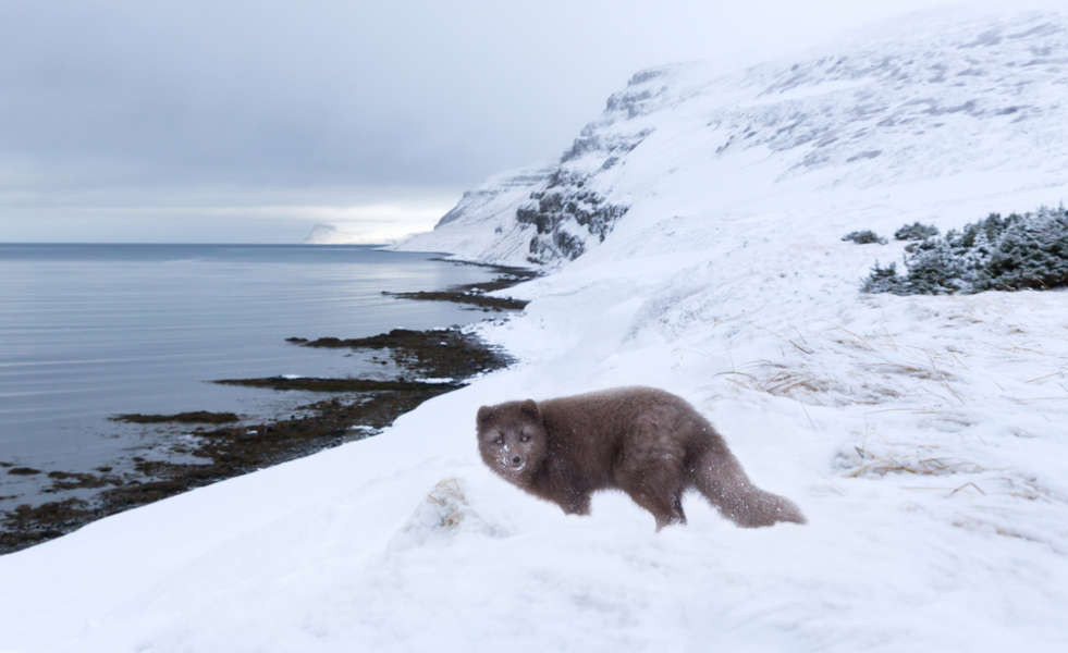Arctic fox standing in the snow in the coast of Iceland